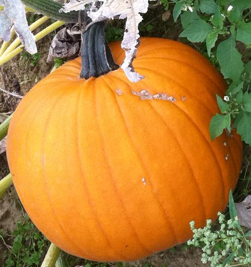 Halloweenkürbis zum Kürbisschnitzen